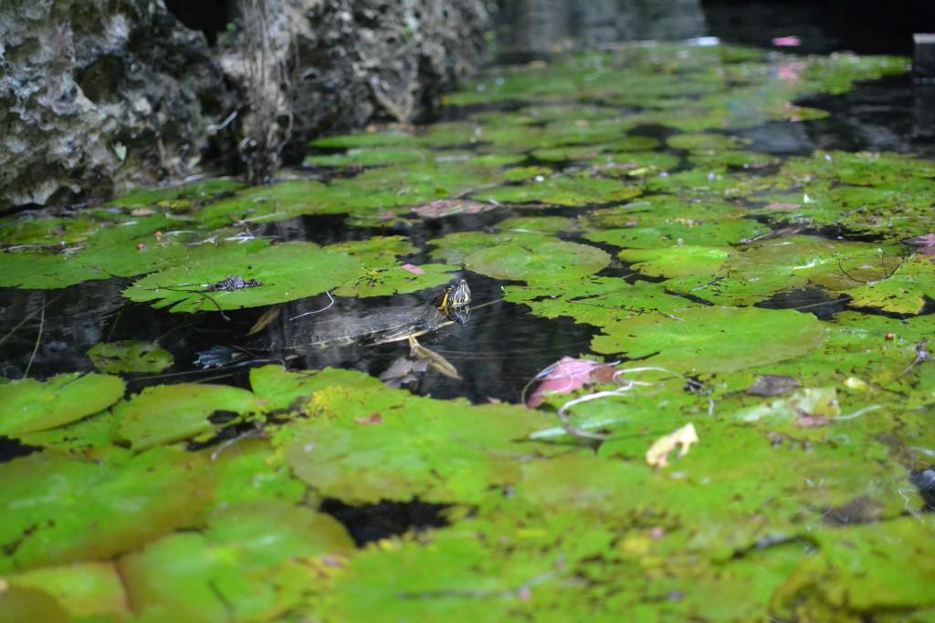 Schildkröte in der Grand Cenote in Tulum